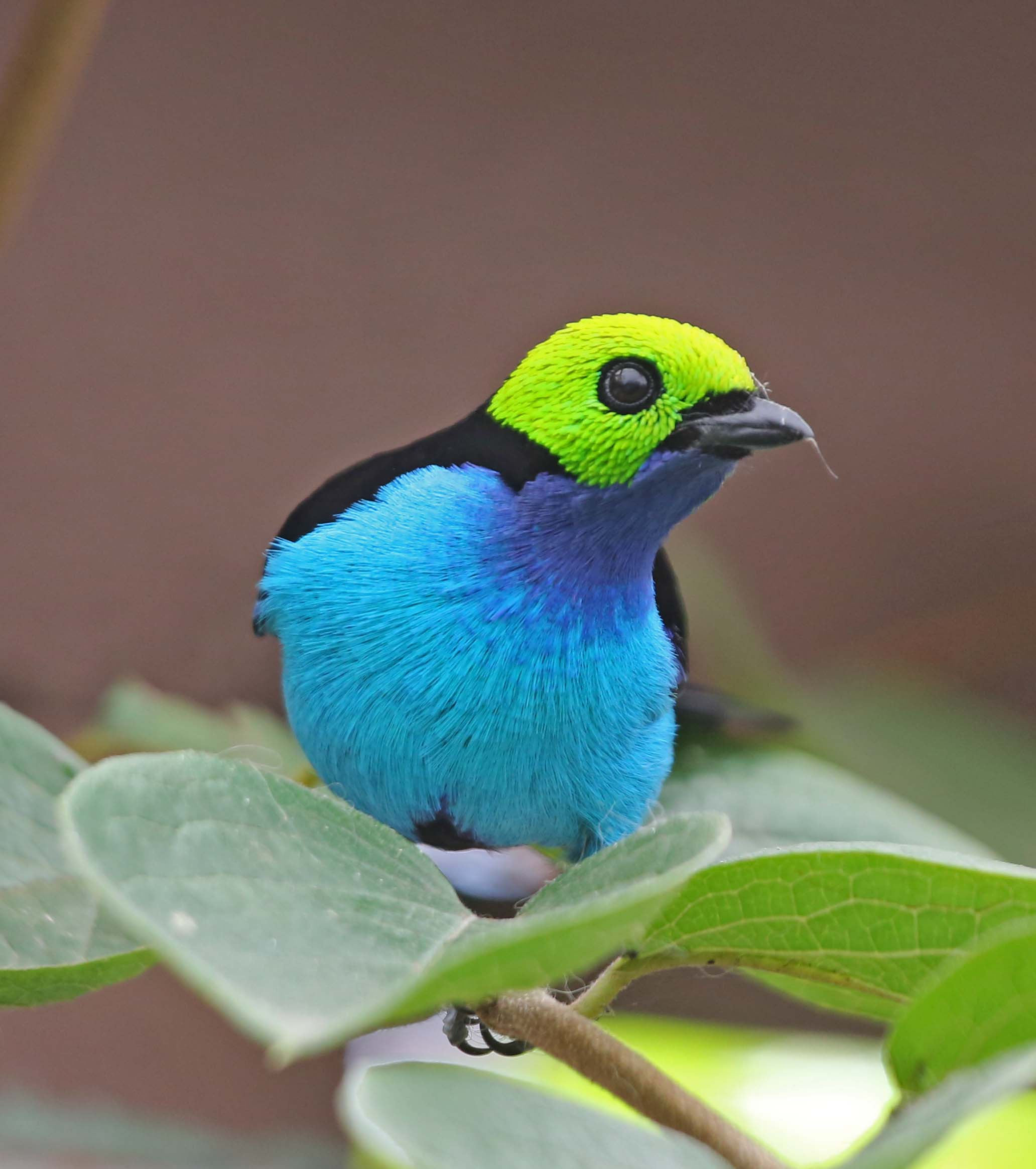 Pictures And Information On Paradise Tanager