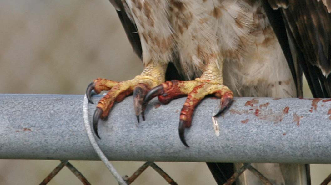 Pictures and information on Red-tailed Hawk